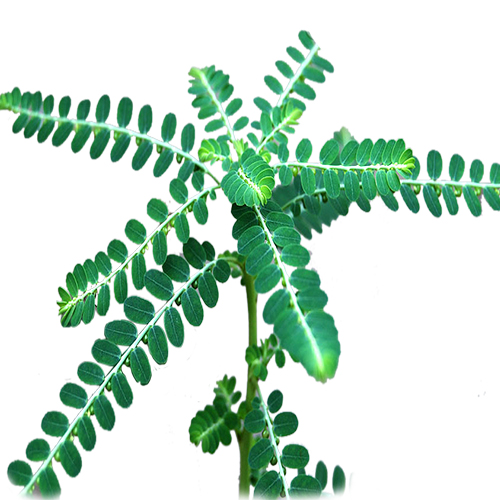 Killanelli (Phyllanthus niruri) -cleaned and purified form-1 kg