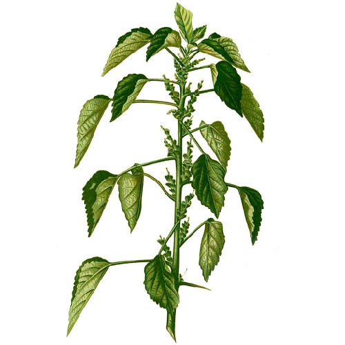 Kuppaimeni (Acalypha indica )-cleaned and purified form-1 kg
