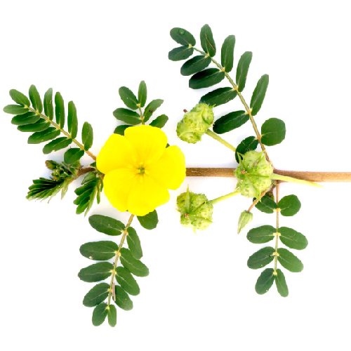 Nerunjil (Tribulus terrestris)-cleaned and purified form-1 kg